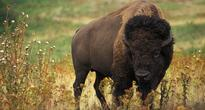 Bison named our National Mammal