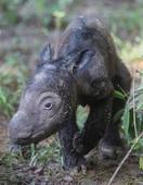 Birth of rare Sumatran rhino hailed as major boost