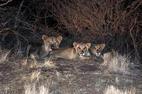 Shrinking ESZ will adversely affect lion's conservation