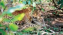 Yet again! Leopard caught in snare at Dahanu rescued