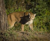 A Mountain Lion Broke Into A Home And Stole A Dog, Authorities Say