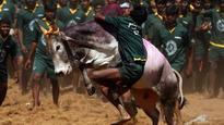 PETA moves Supreme Court against amendments in law to allow Jallikattu