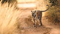 Watch: Tiger crushed by earth-mover at Jim Corbett