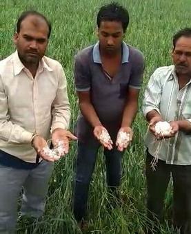 Rain, hailstorm lash Maharashtra, MP; crops damaged