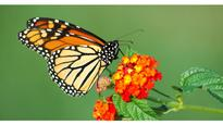 Six States and FHWA Collaborate to Enhance Pollinator Habitat Along Monarch Highway