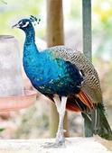 Maha govt takes care of peacocks