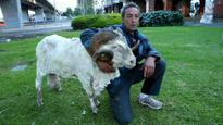 Council pushes to evict homeless man and his pet ram from Treasury Gardens