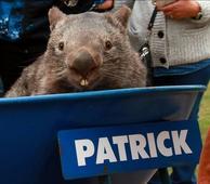 Patrick, Beloved 32-Year-Old Virgin Wombat, Has Died