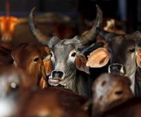 Supreme Court to hear petition challenging Centre's cattle ban today