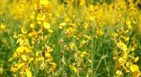 SC extends stay on commercial release of GM mustard crop