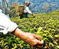 Tea shares surge; Rossell India, Goodricke Group, Jay Shree Tea up over 5%