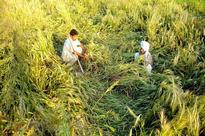 India can achieve 50-MT maize output by 2025 to meet demand: Agriculture Minister Radha Mohan Singh