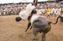 Jallikattu Ban: DMK working president MK Stalin, Kanimozhi go on one-day hunger strike in support of bull-taming sport