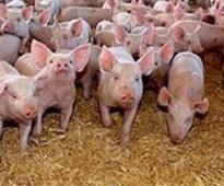 Regional Meetings to Elect New Pigs Committee