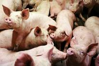 Pig farming training concludes at Ludhiana's vet varsity