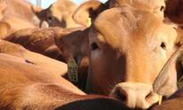S. Kidman and Co enters deal for a foreign takeover of the majority of the iconic Australian cattle company