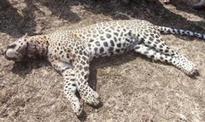 Leopard killed in Dibrugarh