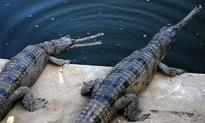 2,500 gharial hatchlings emerge at nesting sites on Chambal banks