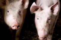 Strong exports support growth in Brazilian pork trade