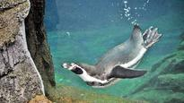 Humboldt penguins: Byculla Zoo finds ways to control crowds