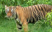 Tiger number shooting up; increase by 50 in Kerala