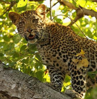Lock your doors! Another leopard on the prowl in Bengaluru school