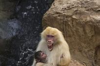 Scientists hear voice of ancient humans in baboon calls