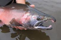 Yukon king salmon run predicted to be weaker than average this year