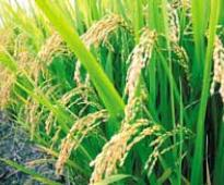 Floods take a toll on paddy cultivation