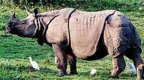 Kaziranga rhino population increased to 2,413, shows latest estimate
