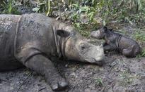 Rare Sumatran rhino born in Indonesia