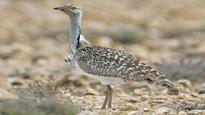 SC lifts ban on hunting of rare houbara bustard