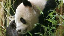 This video of a baby panda is the ultimate dose of cuteness you need on a Monday