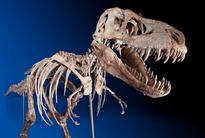 Tyrannosaurus Bataar Fossil Finally Returns Home To Mongolia