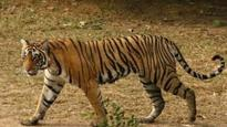 Tiger found dead in Umaria forests, electrocution by poachers suspected