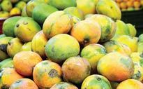 Phenomenal drop in Alphonso Mango yield