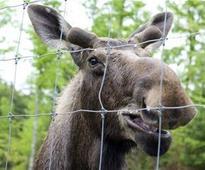 Moose Tries to Move Onto Vermont Farm, Fails