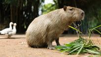 Toronto Parks investigating reports of capybaras sightings
