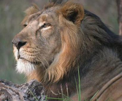 Gujarat: 92 lions dead in two years