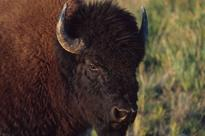 Bison conservation moving 'farther and faster' than expected