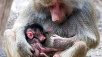 Hamadryas baboon only second born in past decade at Adelaide Zoo