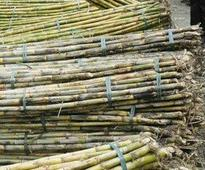 Maharashtra sugar factories owe farmers 918 cr over 2 yrs