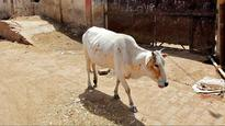 Delhi: 22 cows found dead at a dairy in Burari