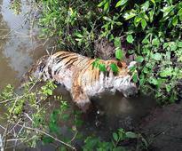 Tiger found shot dead in Bandipur park