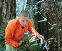 Baffling albino redwoods