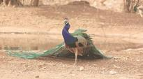 Peacocks in Mumbai: Not a pretty picture