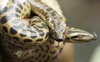 Nomoshkar anacondas: Amazon giants soon in Kolkata, thanks to this TN reptile bank