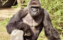 US zoo kills gorilla after boy falls into enclosure
