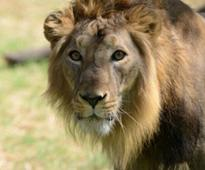 238 Lions Died in Gir Forest in Five Years, Says Congress MLA