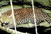 100 cameras installed for leopard and sloth bear census